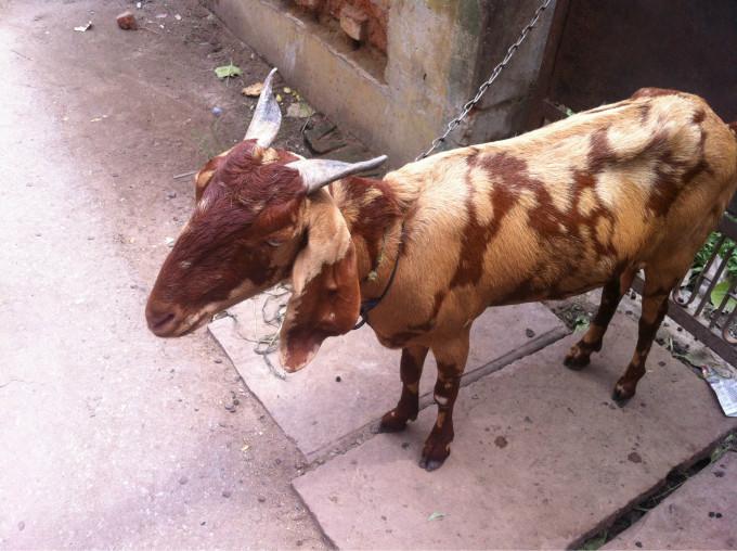 再说说然爱动物的印度人,他们对周围的动物也是很爱护,要是这么一只小